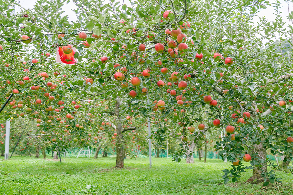 Your Own Apple Tree